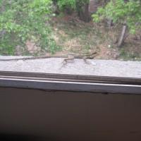 Iguana Julio 2015 002