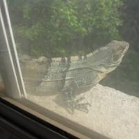 Iguana Julio 2015 005